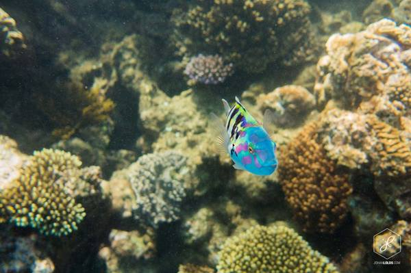 Colourful fish of the Great Barrier Reef