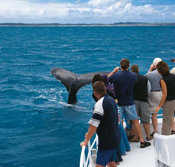 Whale watching in Hervey Bay offers calm waters & close encounters